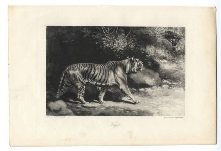 1898 TIGER by Edmund Caldwell - Antique Print from Photogravure